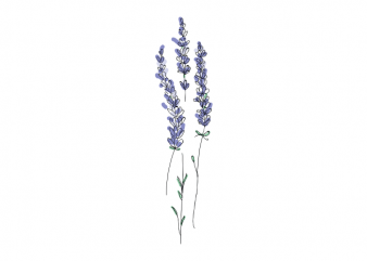 Lavender plant botany kids vector t shirt printing design